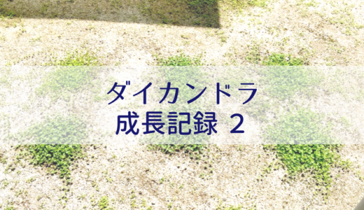 ダイカンドラ成長記録②【成功編】お庭に種まき〜グランドカバーへ