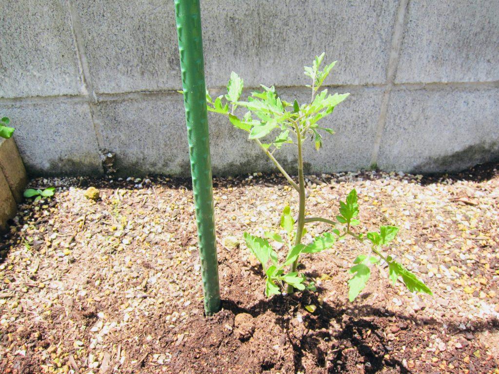 ミニトマトの苗を植えて支柱を立てている