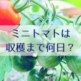 ミニトマトは収穫まで何日?