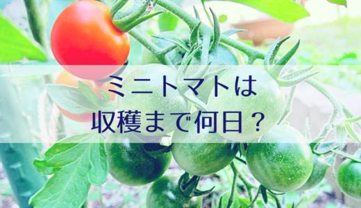 家庭菜園のミニトマトは収穫まで何日?苗の植付~収穫までの成長