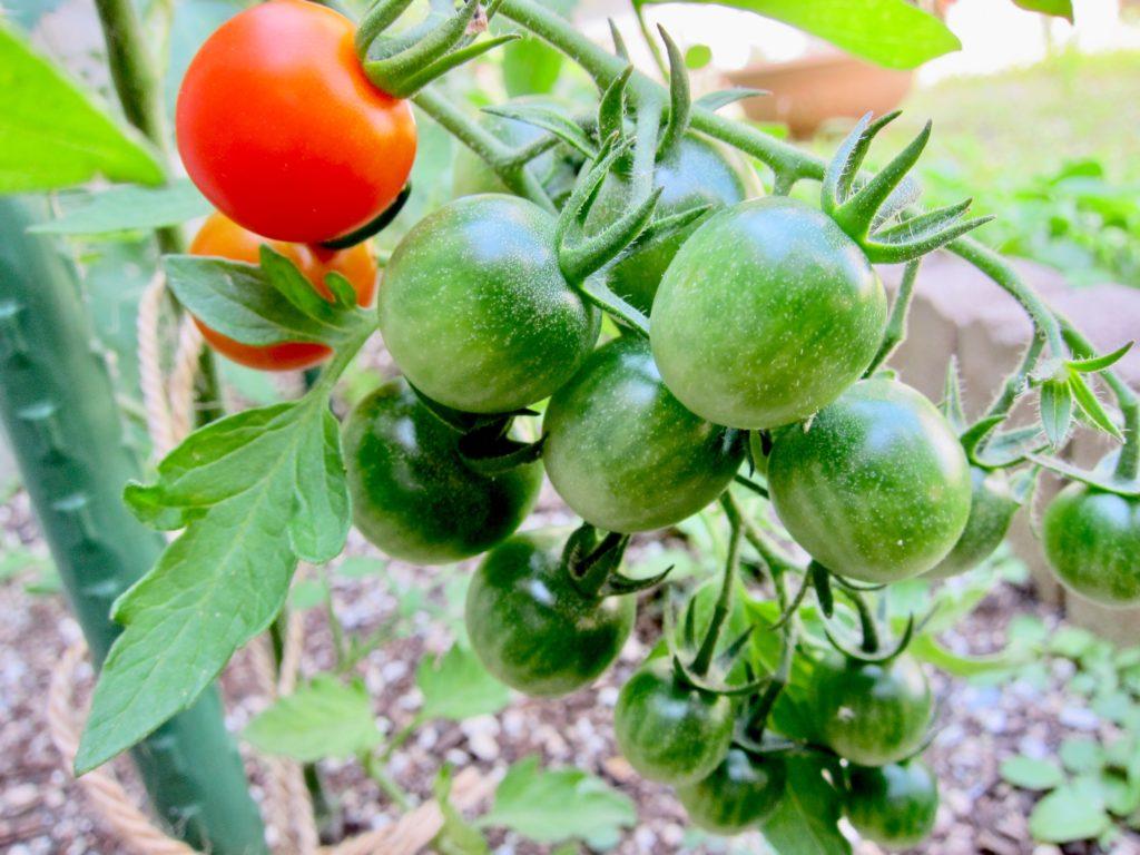 家庭菜園のミニトマトの実がたくさんついている