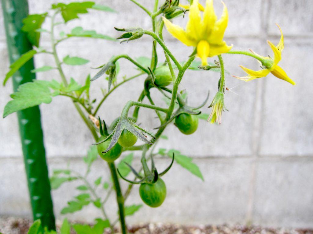 家庭菜園のミニトマトの苗に緑の実が付き始めた