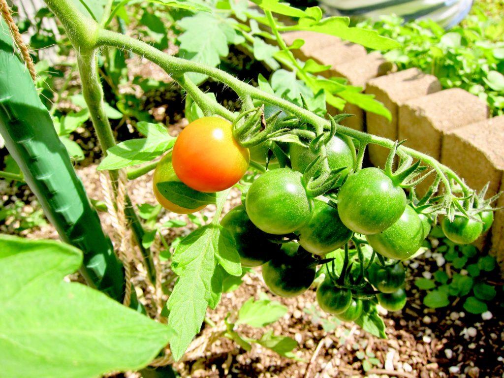 家庭菜園のミニトマトが赤く色付く