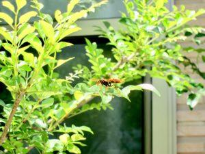 シマトネリコにアシナガバチがきている