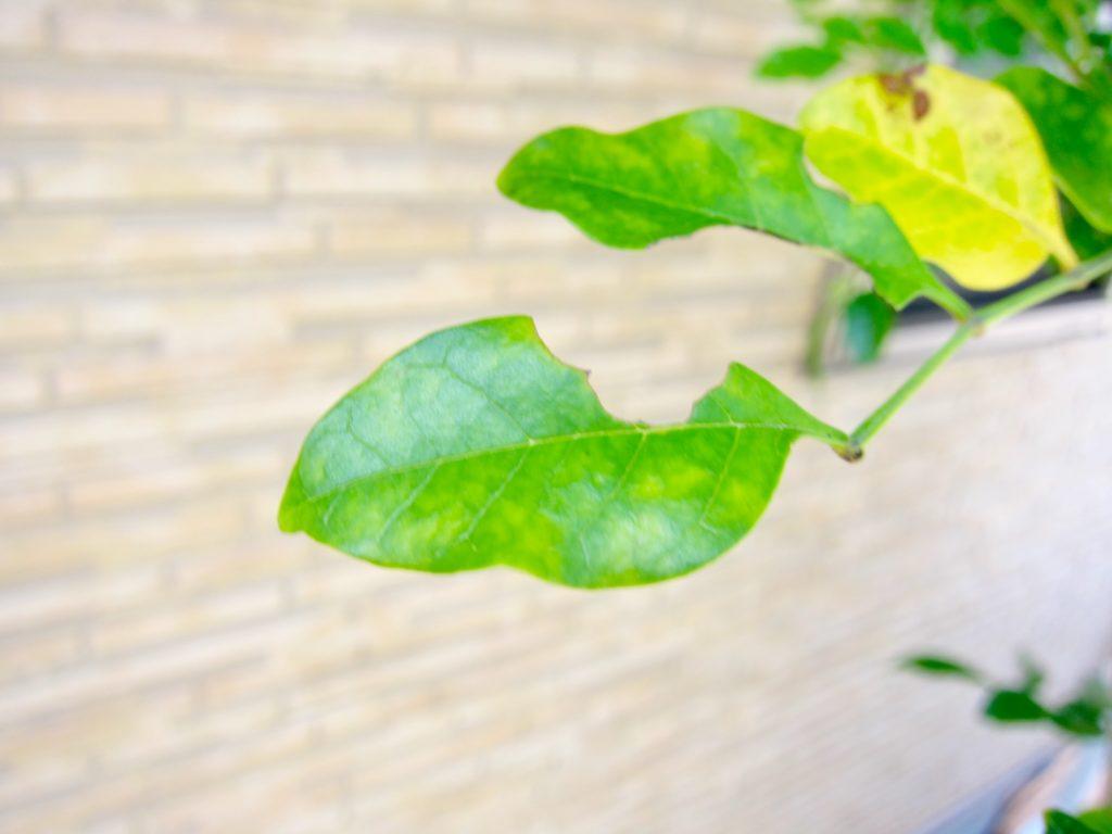 シマトネリコの害虫による葉の食害