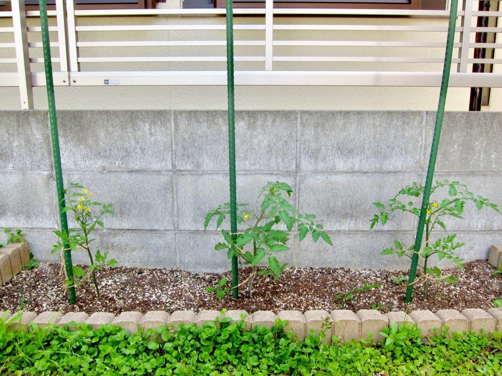 家庭菜園のミニトマトの苗を植えて2週間後