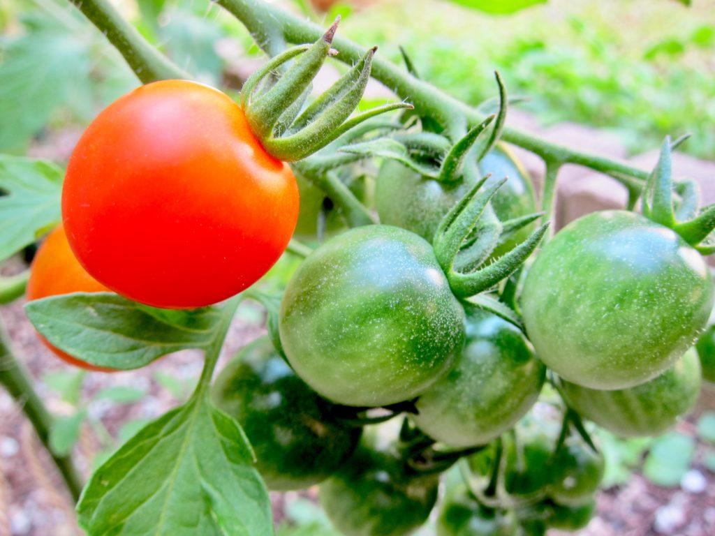 家庭菜園のミニトマトが1つ赤く熟している