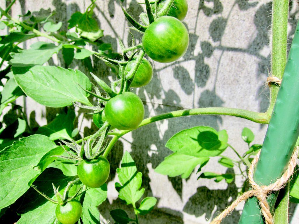 家庭菜園のミニトマトに実がなっている