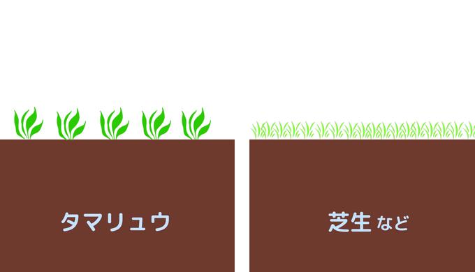 タマリュウと芝生の比較