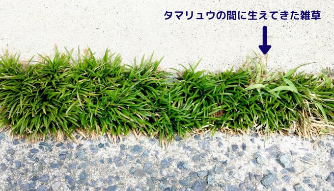 駐車場目地のタマリュウの間から雑草が生えている