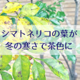 シマトネリコの葉が冬の寒さで茶色に