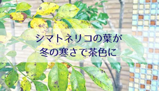 シマトネリコの葉が冬の寒さで茶色に!枯れたの?冬越しはどうする?