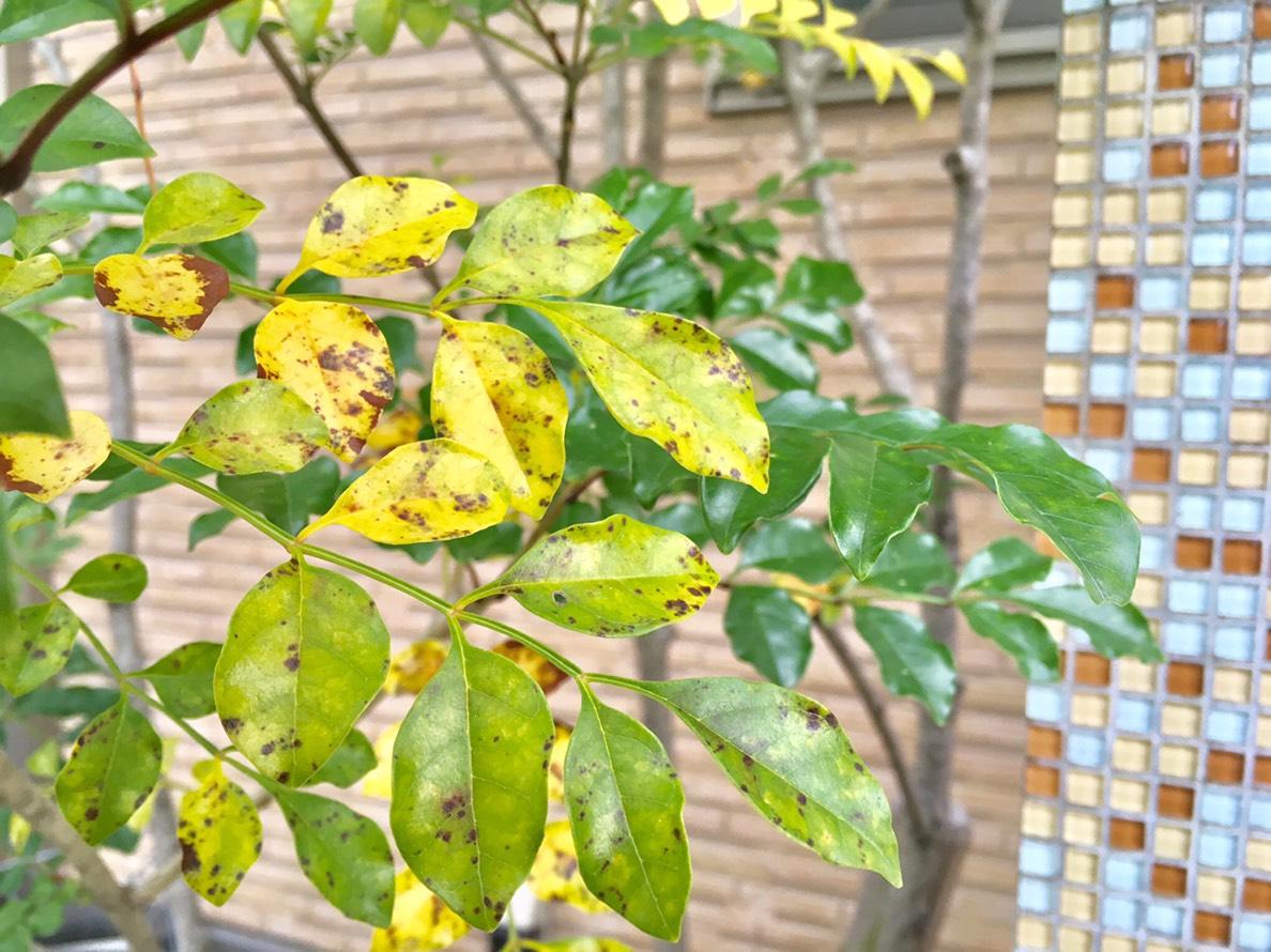 シマトネリコの葉に茶色い斑点