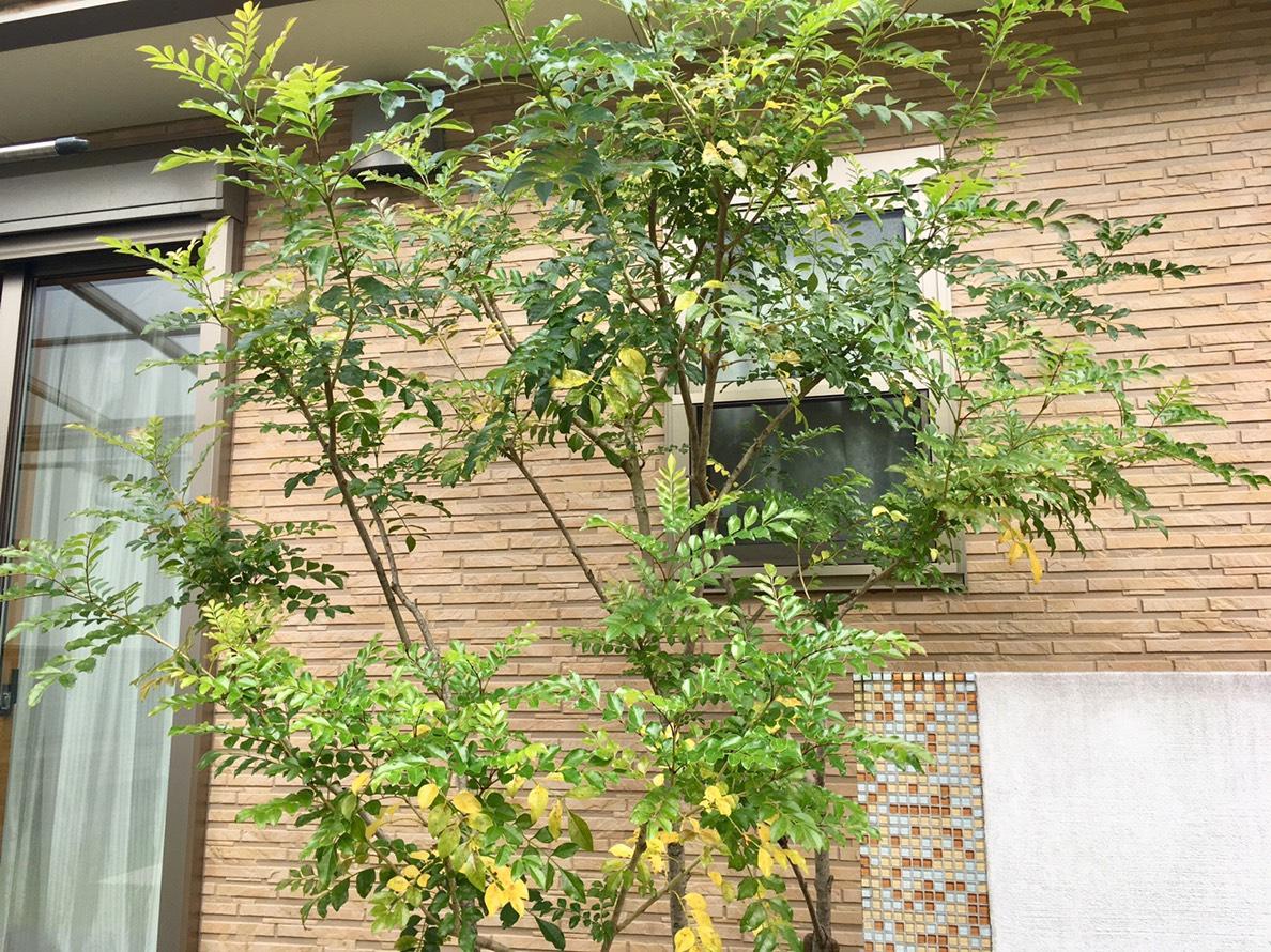 葉が黄色くなったシマトネリコの全体像